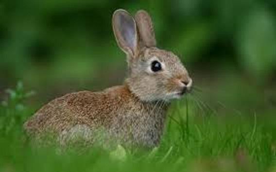 El conill Agustí