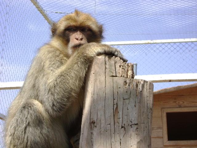 Els Macacos són alguns dels animals exòtics que tenen a l'APAN
