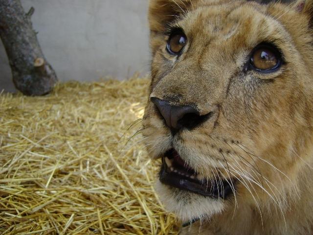 El lleó Simba té ara entre 6 i 7 mesos d'edat