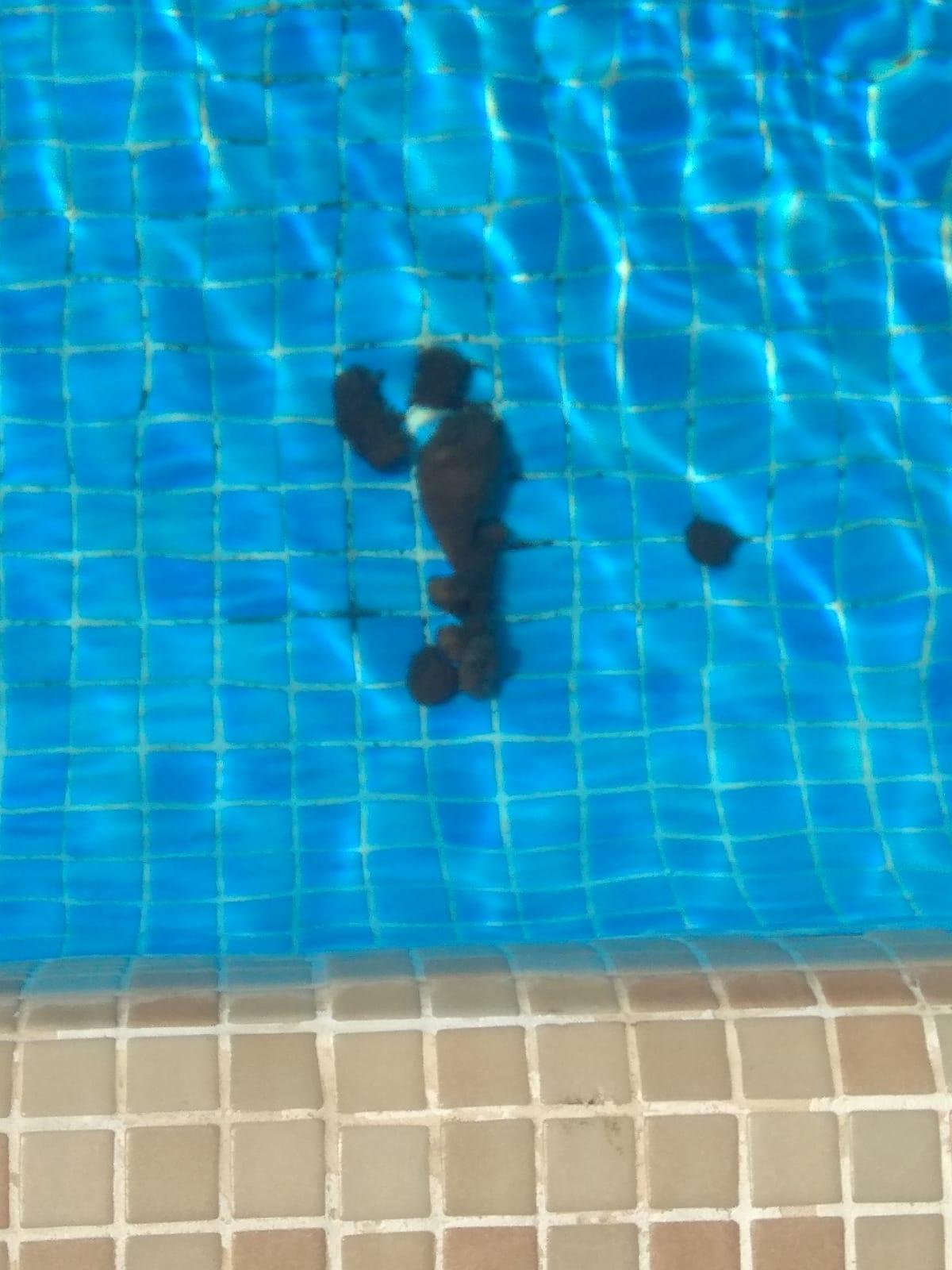 La defecació a la piscina