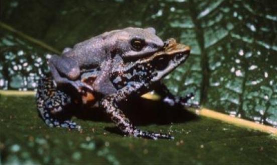 La granota Chitiqui Harlequin, extingida el 1996. Font: UICN, foto de Marcos Guerra