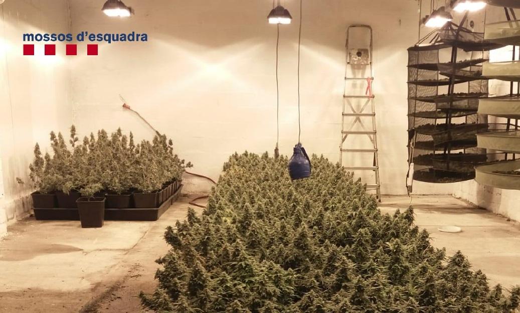 La plantació detectada als Hostalets