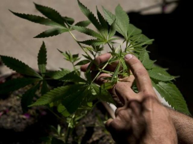 Es van trobar una vintena de plantes de cànnabis en procés de creixement