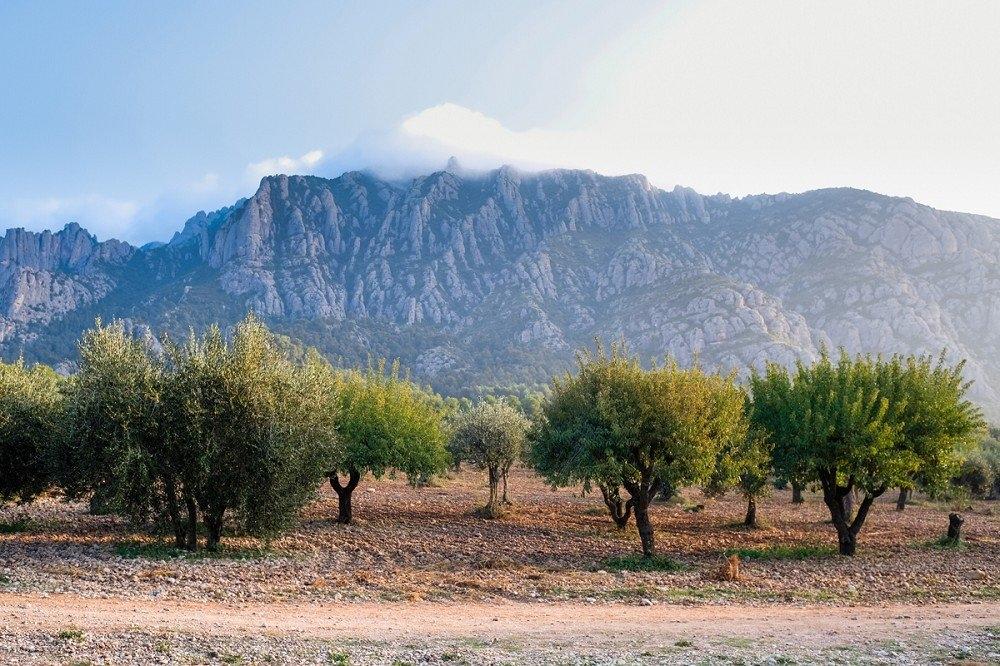 Potenciar el paisatge d'oliveres, al peu de Montserrat, un dels objectius FOTO: Ajt. Collbató