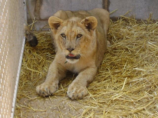El lleó serà traslladat d'aquí a un mes a Sudàfrica